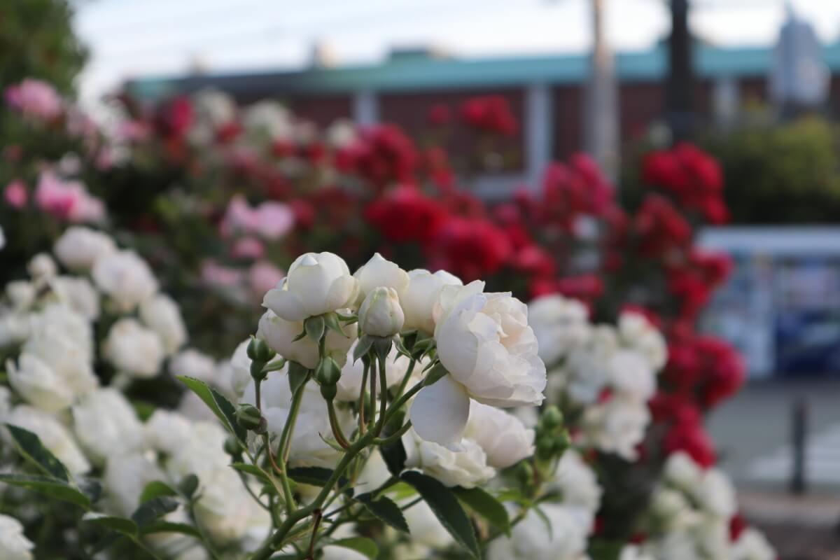 Harbor View Park・rose-2