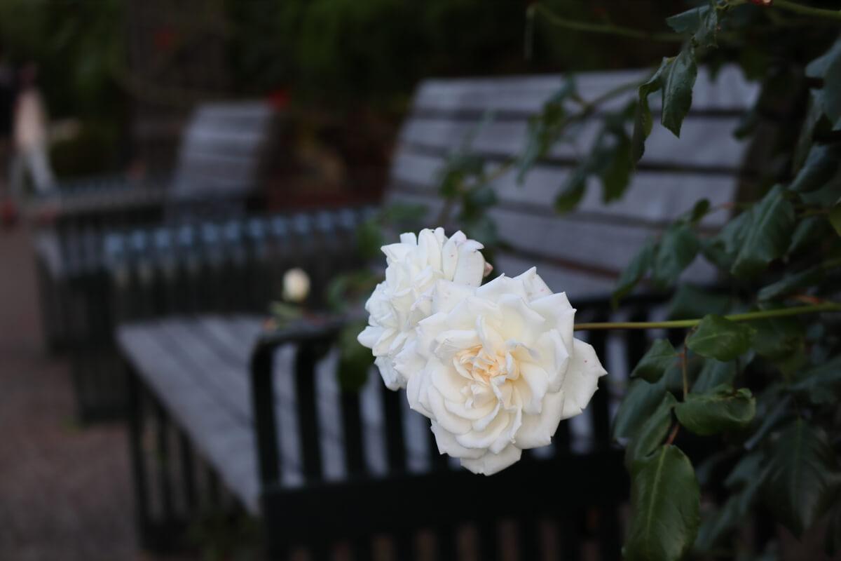 Harbor View Park・rose-5
