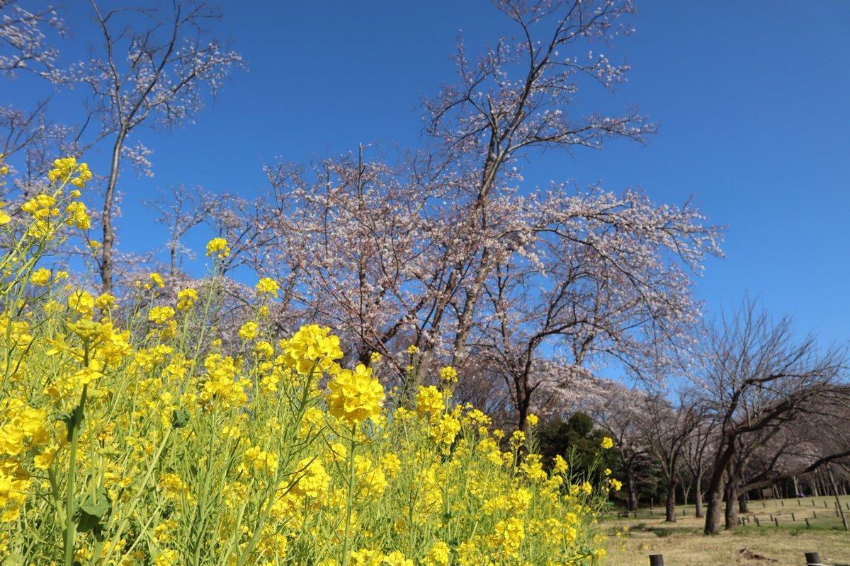 Negishi Forest Park・Cherry blossoms and rape blossoms