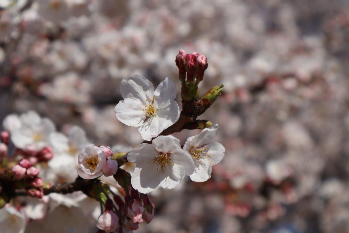 Negishi Forest Park・Cherry blossoms-3