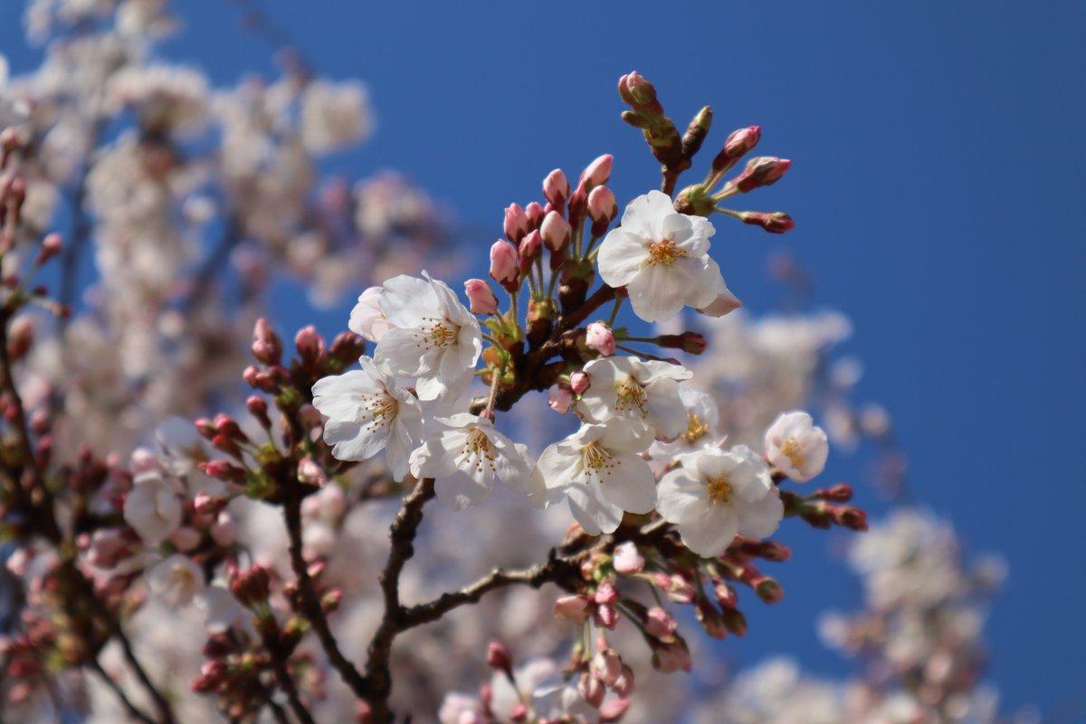 Negishi Forest Park・Cherry blossoms-4
