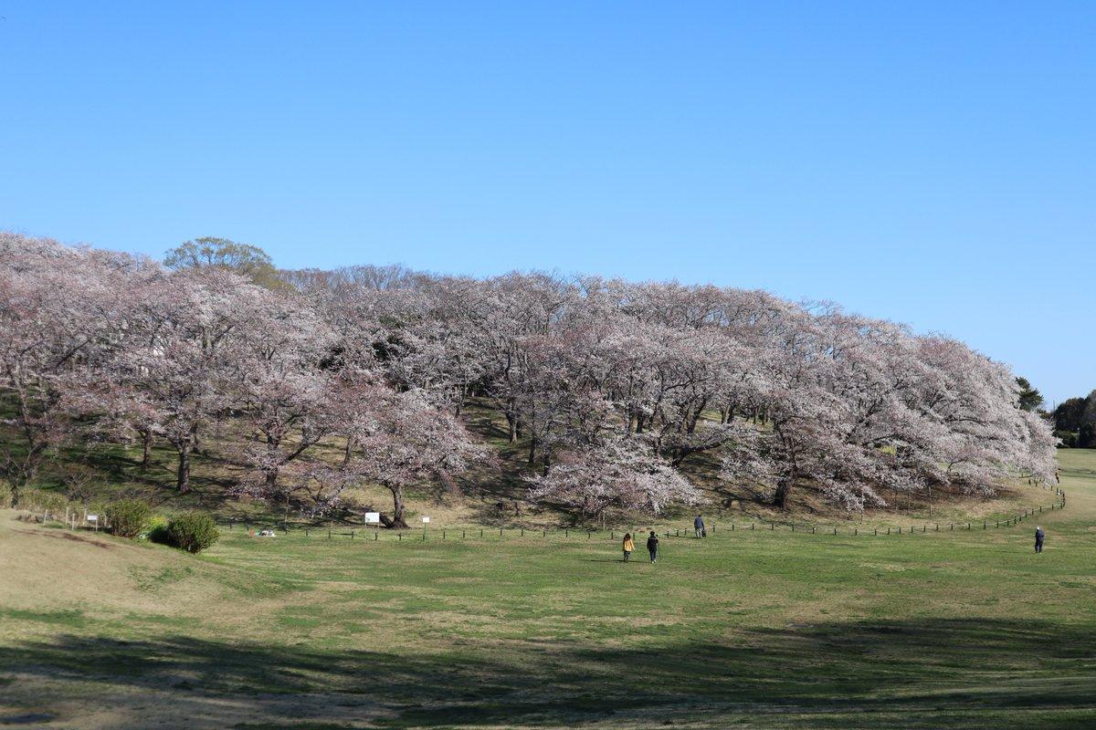 Negishi Forest Park・Cherry blossoms-5