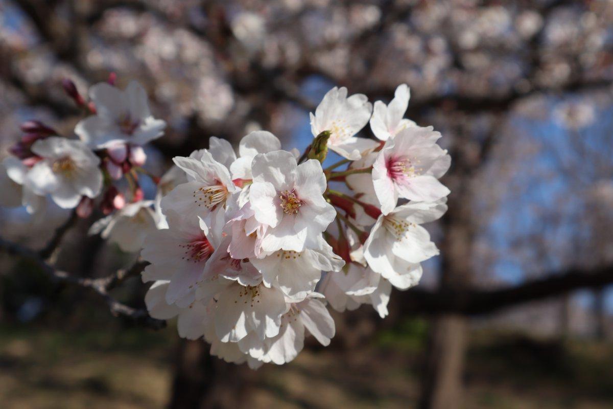 Negishi Forest Park・Cherry blossoms-6