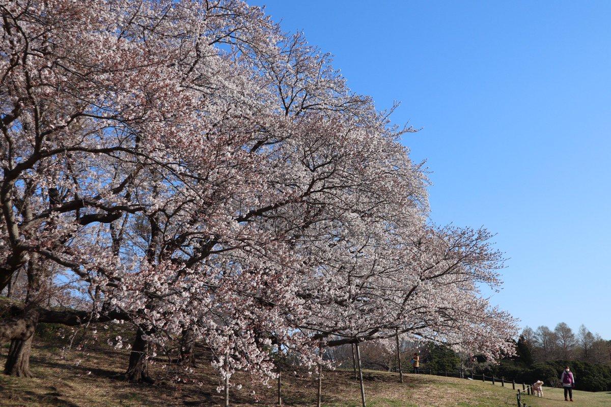 Negishi Forest Park・Cherry blossoms-8