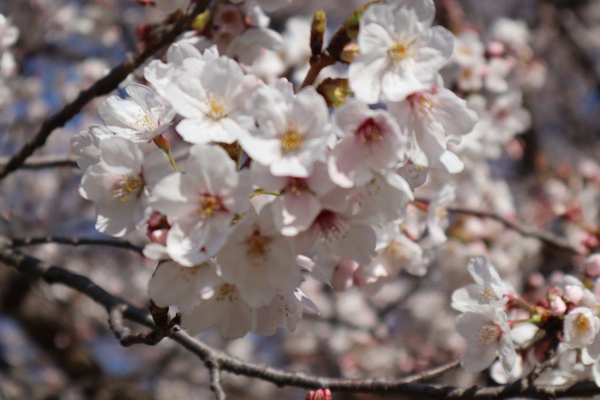 Negishi Forest Park・Cherry blossoms-9