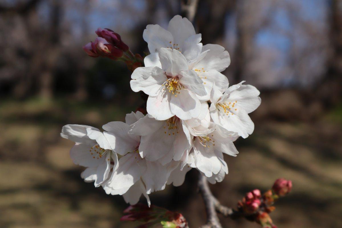 Negishi Forest Park・Cherry blossoms-10