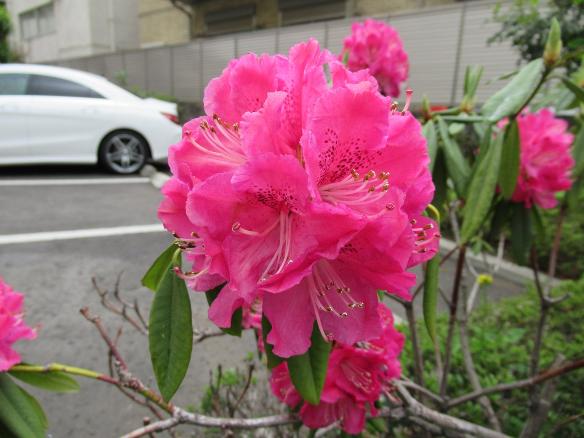Rhododendron-2