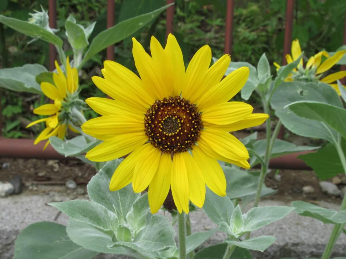 sunflower-1