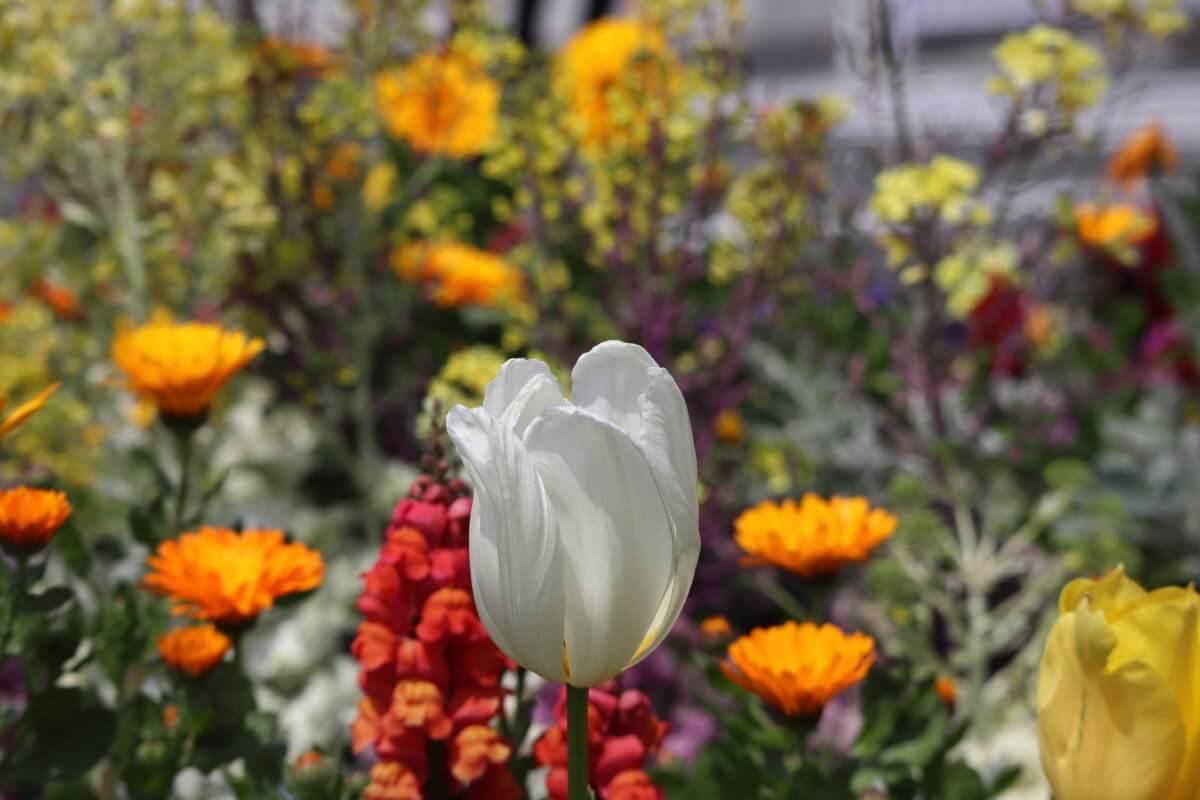 tulips-1