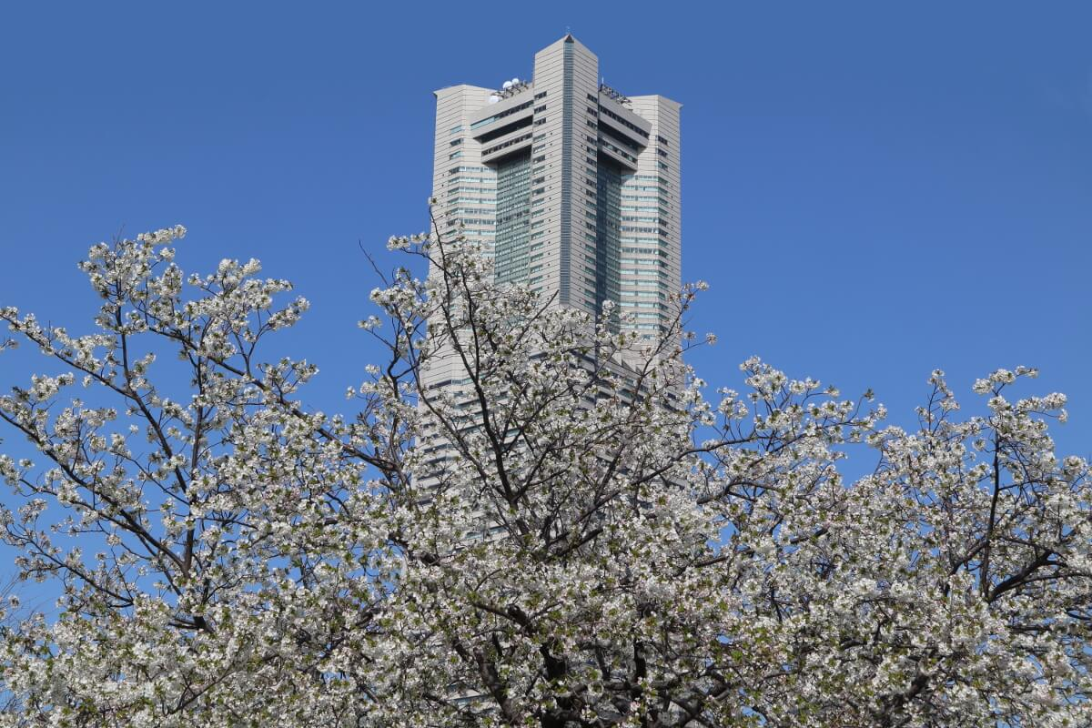 Landmark Tower and Cherry Blossoms