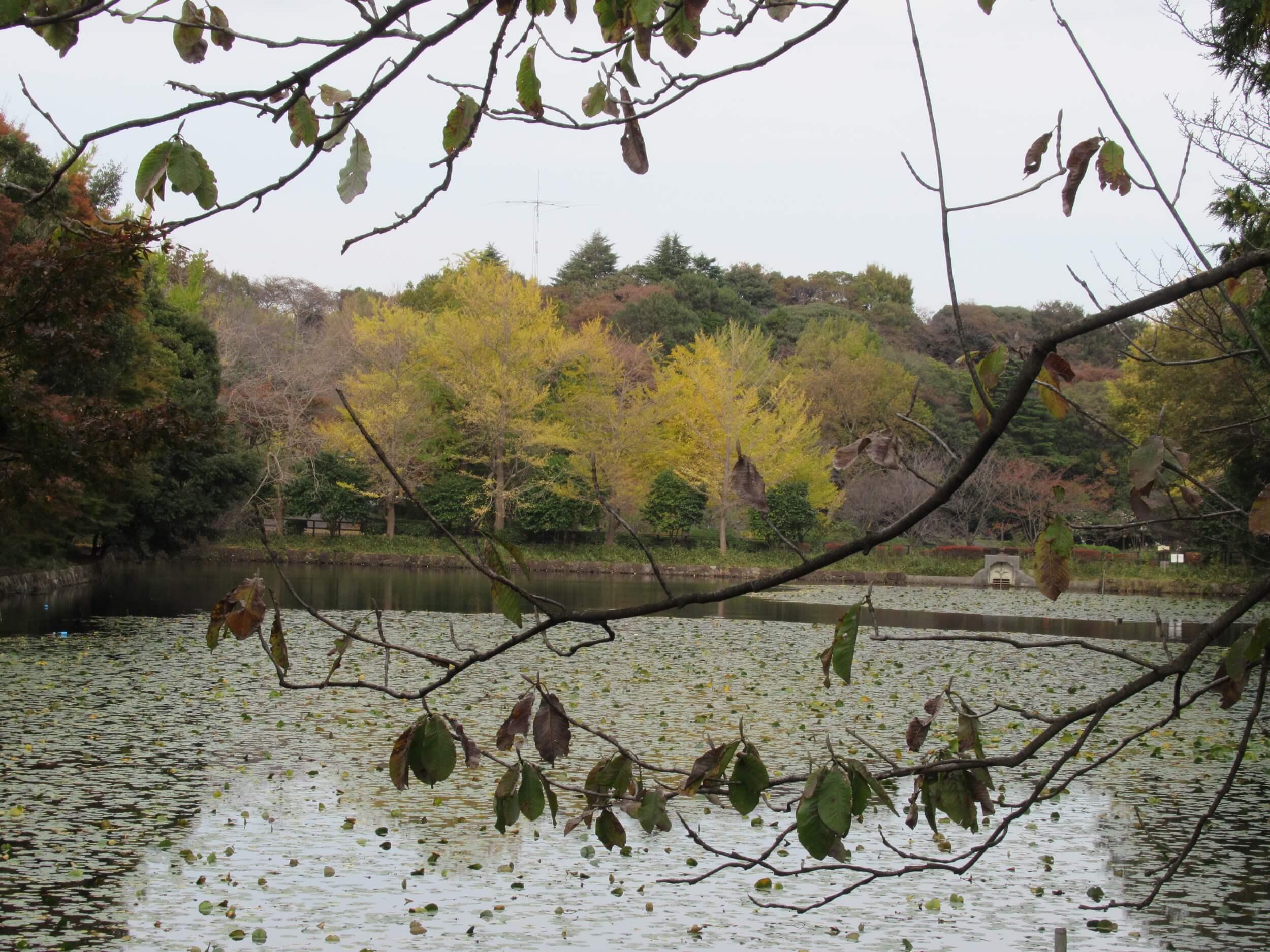 Kaminoike(Upper pond)・Autumn leaves3