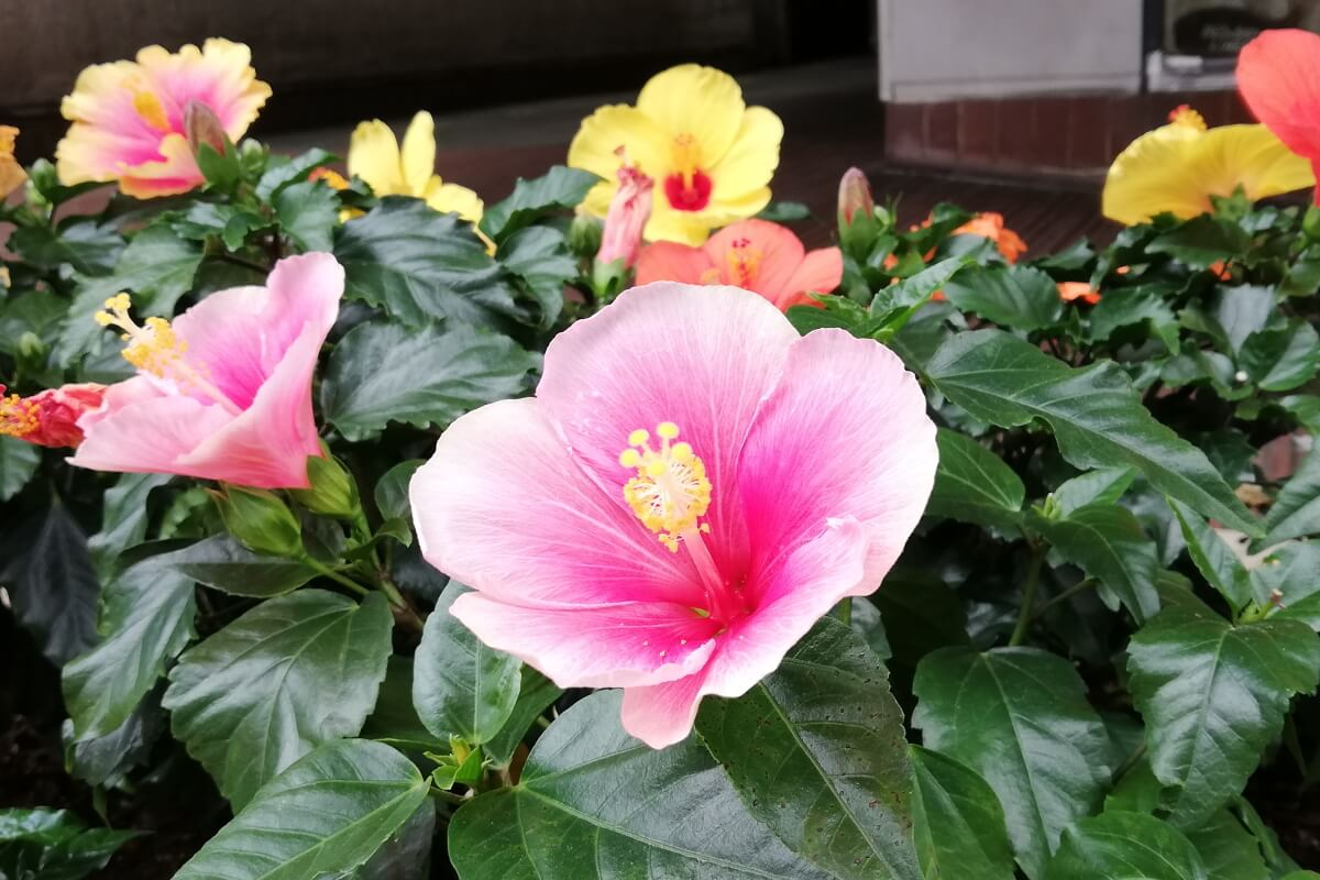 Motomachi/Yokohama・Hibiscus-2