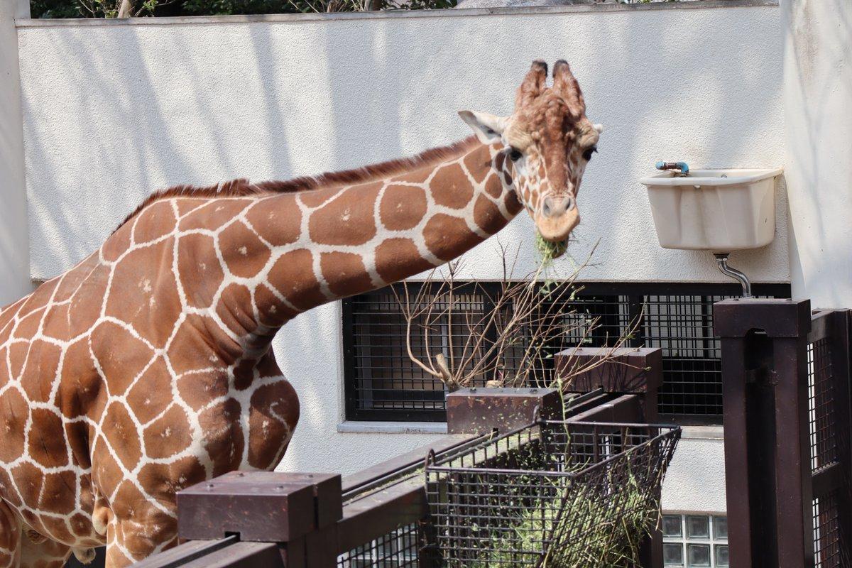 Nogeyamazoo・giraffe・Eating