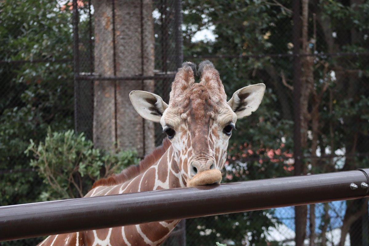 Nogeyamazoo・giraffe・firmly