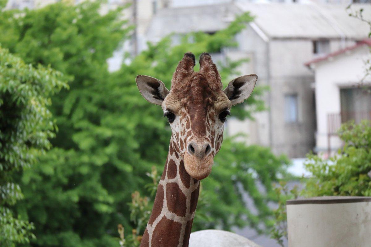 Nogeyamazoo・giraffe・looking straight