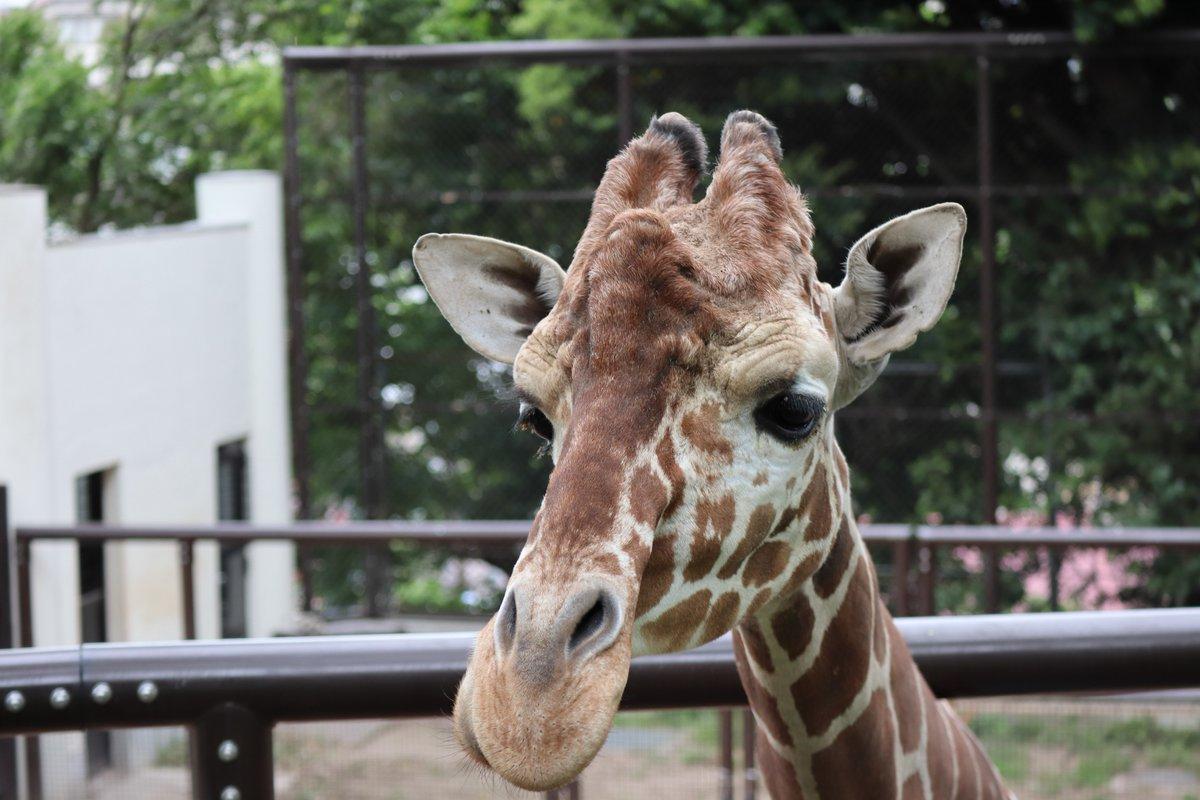 Nogeyamazoo・giraffe・approaching