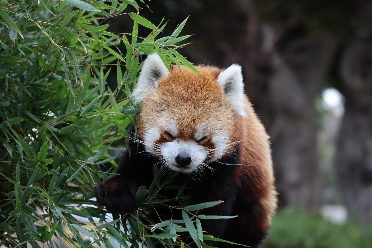 Nogeyamazoo・Lesser Panda・a little sleepy
