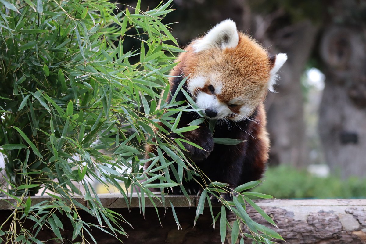 Nogeyamazoo・Lesser Panda・Eating
