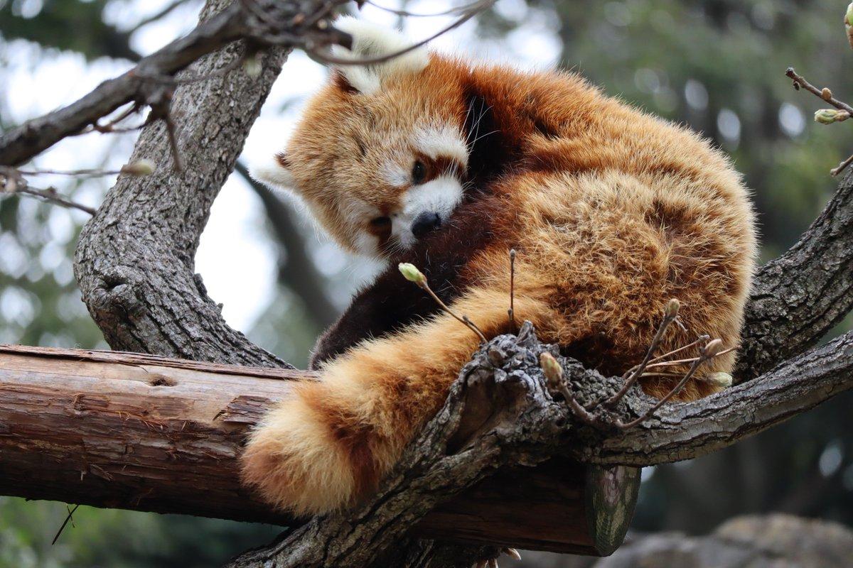 Nogeyamazoo・Lesser Panda・sleepy