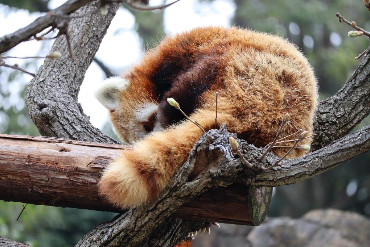 Nogeyamazoo・Lesser Panda・sleeping