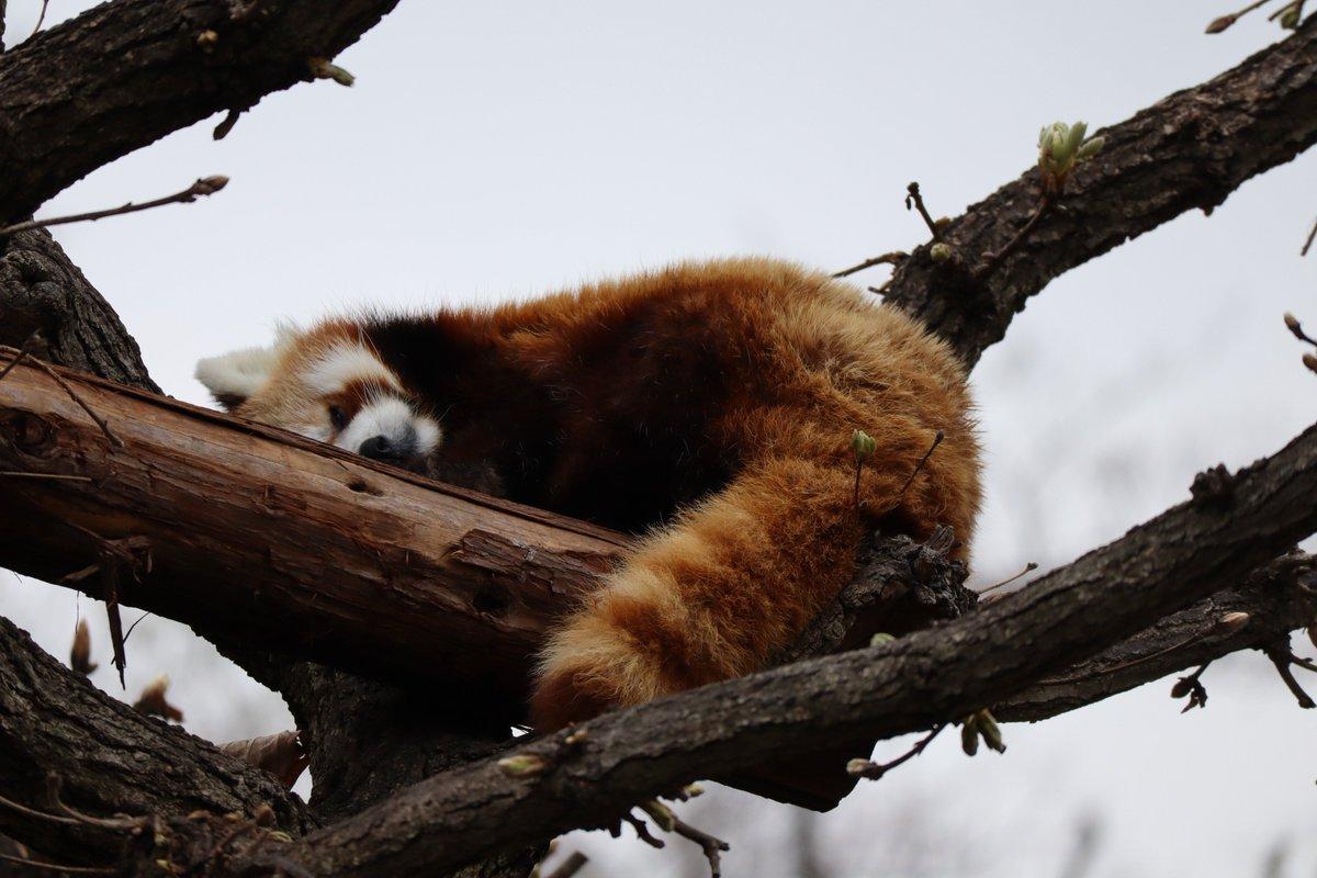Nogeyamazoo・Lesser Panda・Sleeping well