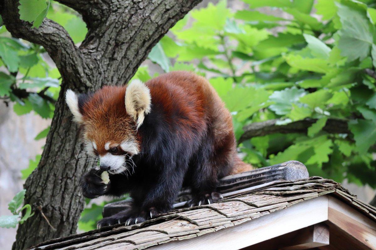 Nogeyamazoo・Lesser Panda・Holding and eating an apple