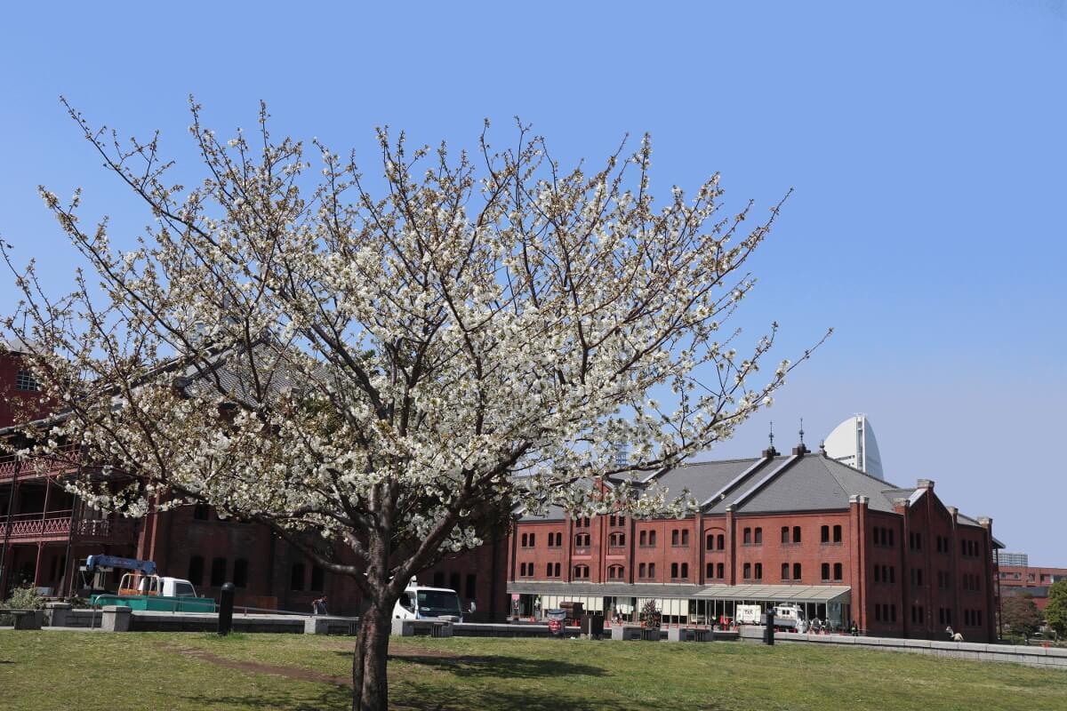 Red Brick Warehouse・Cherry Blossoms1