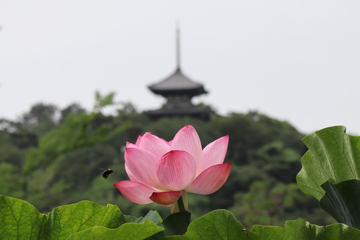 Sankeien Garden/Yokohama・Lotus and the Three-Storied Pagoda(2020)-1