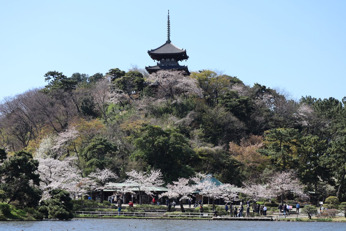 Sankeien Garden/Yokohama・Cherry Blossoms, and the Three-Storied Pagoda