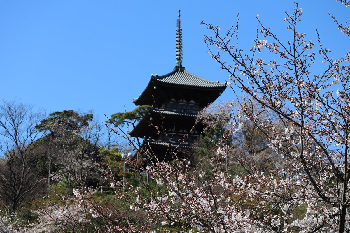 Sankeien Garden/Yokohama・Cherry Blossoms and the Three-Storied Pagoda