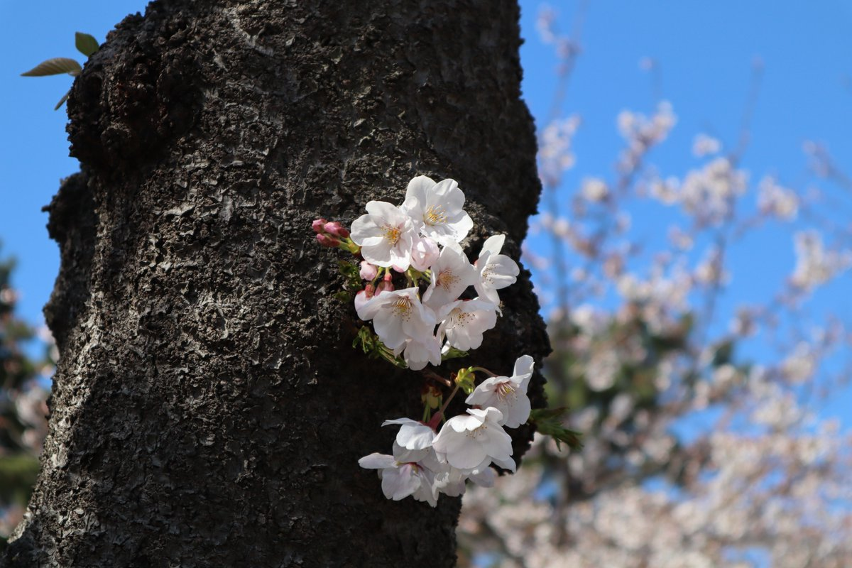 Sankeien Garden/Yokohama・Cherry blossoms blooming on the trunk