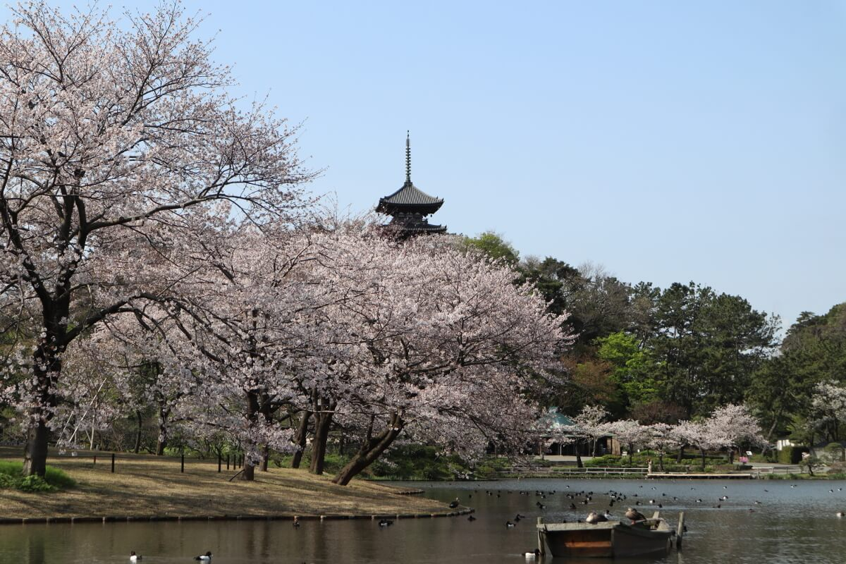 Sankeien Garden/Yokohama・Cherry Blossoms,Big pond and the Three-Storied Pagoda