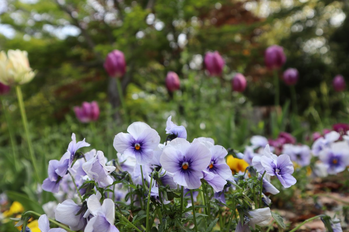 Shiki(Four seasons) Forest Park・pansy1