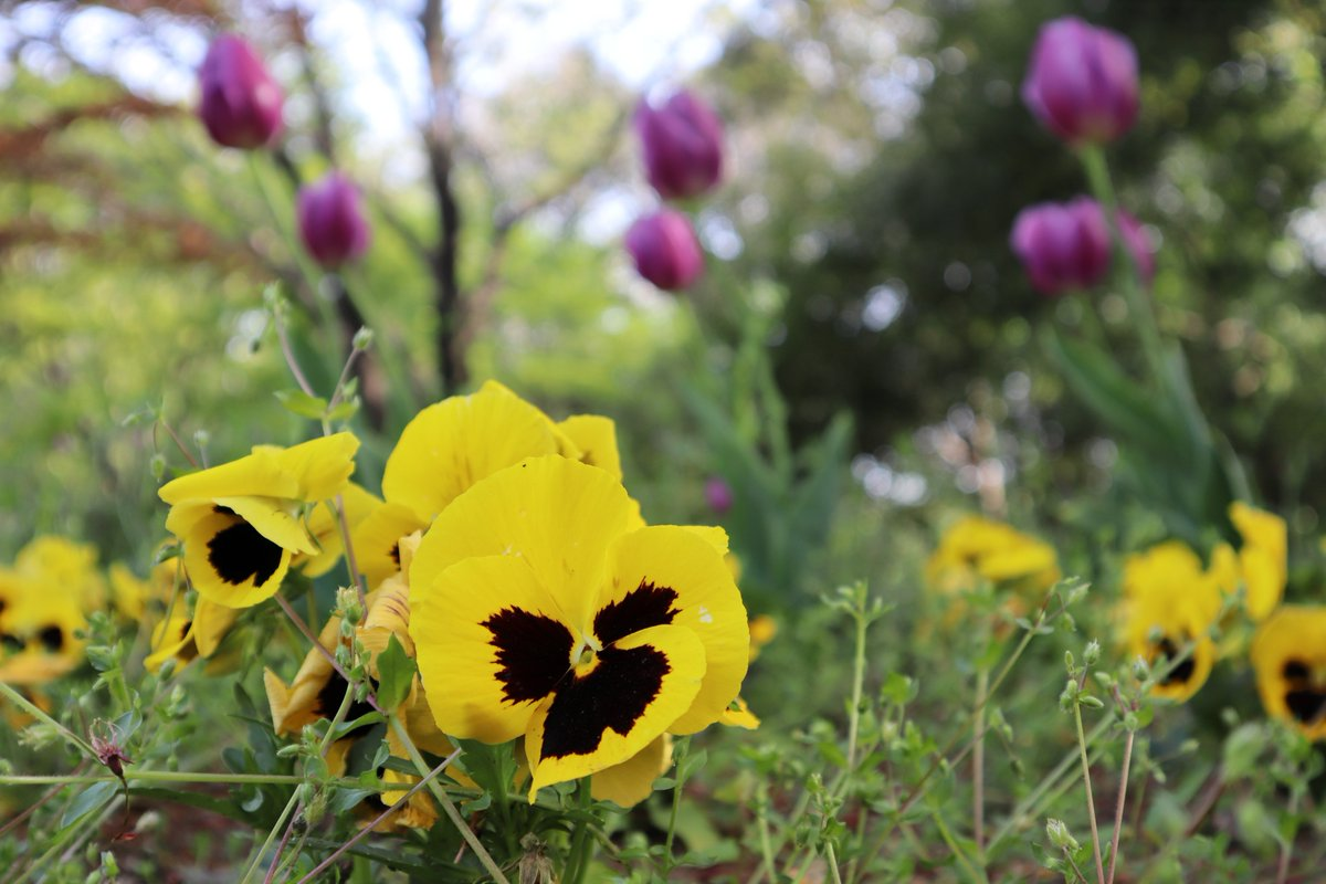 Shiki(Four seasons) Forest Park・Yellow Pansy
