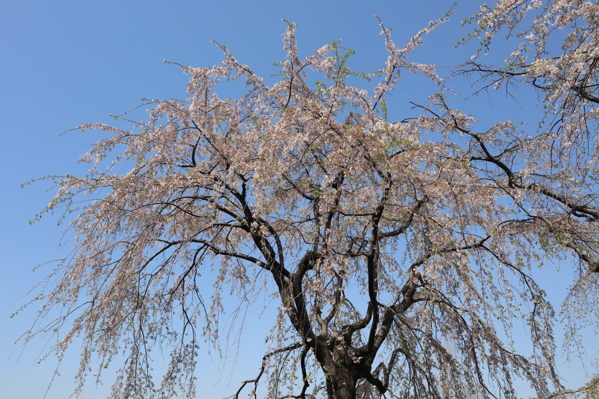 Yamashita Park・Cherry Blossoms-1