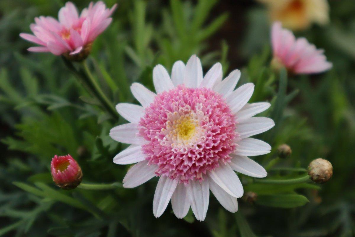 Yamashita Park・Chrysanthemum Splash Sweet-1