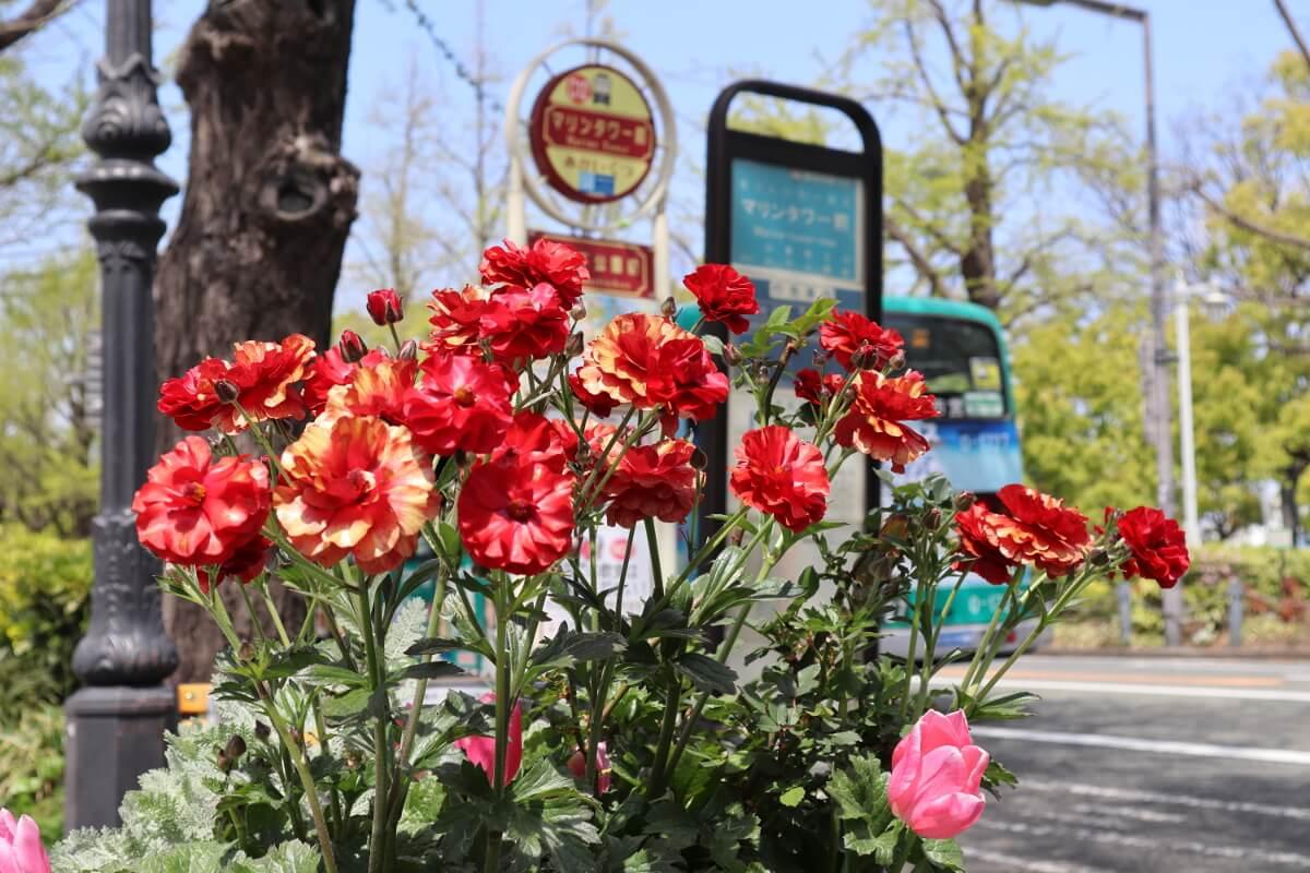 Yamashita Park・Carnation and bus stop-1