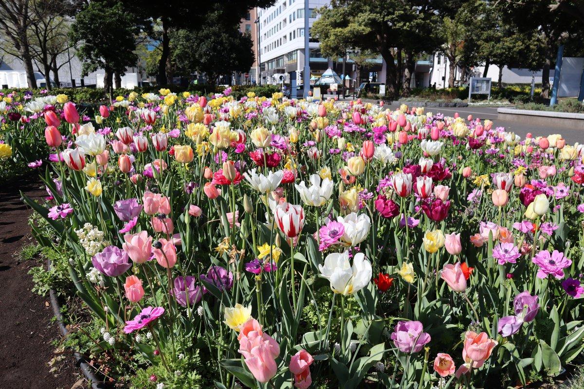 Yamashita Park・Tulip-1