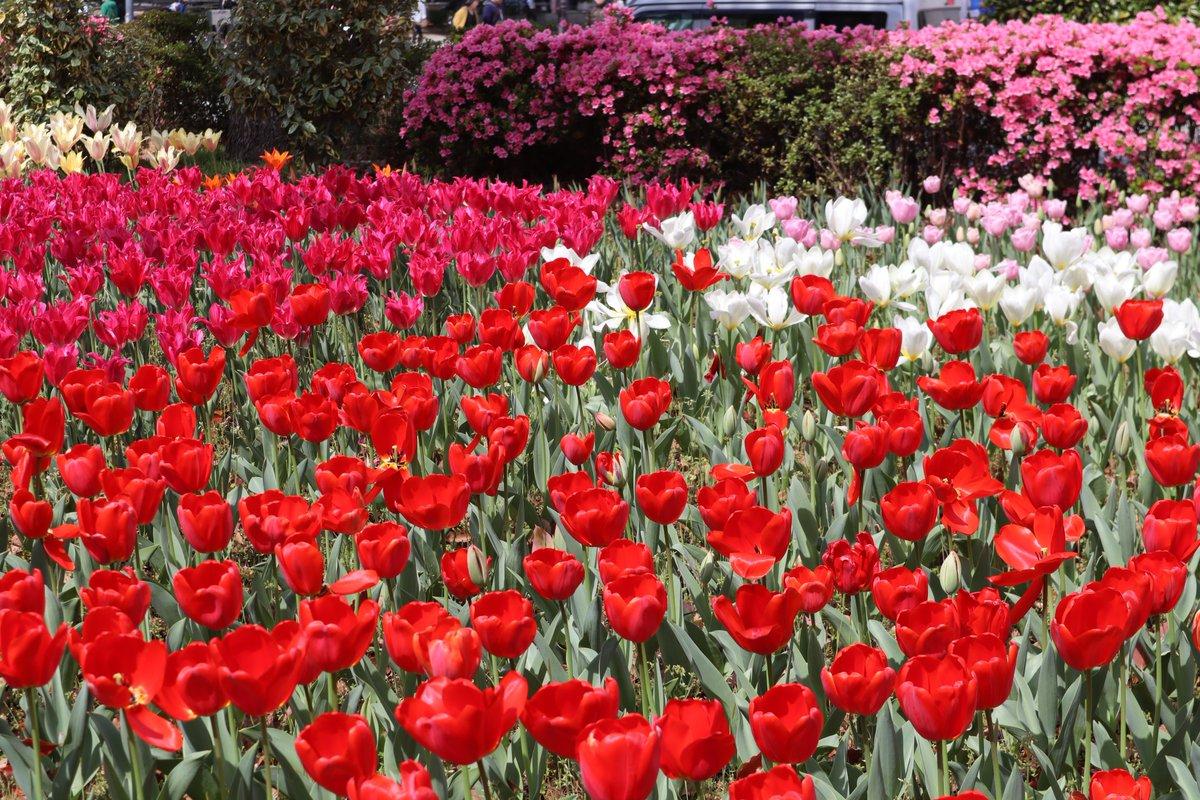 Yokohama Park・tulip-2