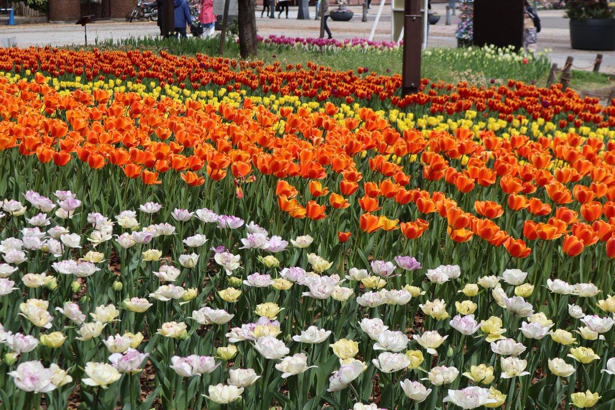Yokohama Park・tulip-4