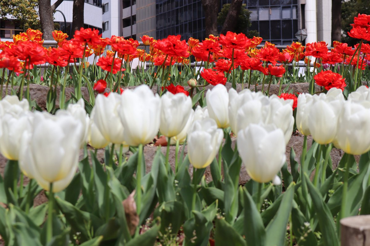 Yokohama Park・tulip-5