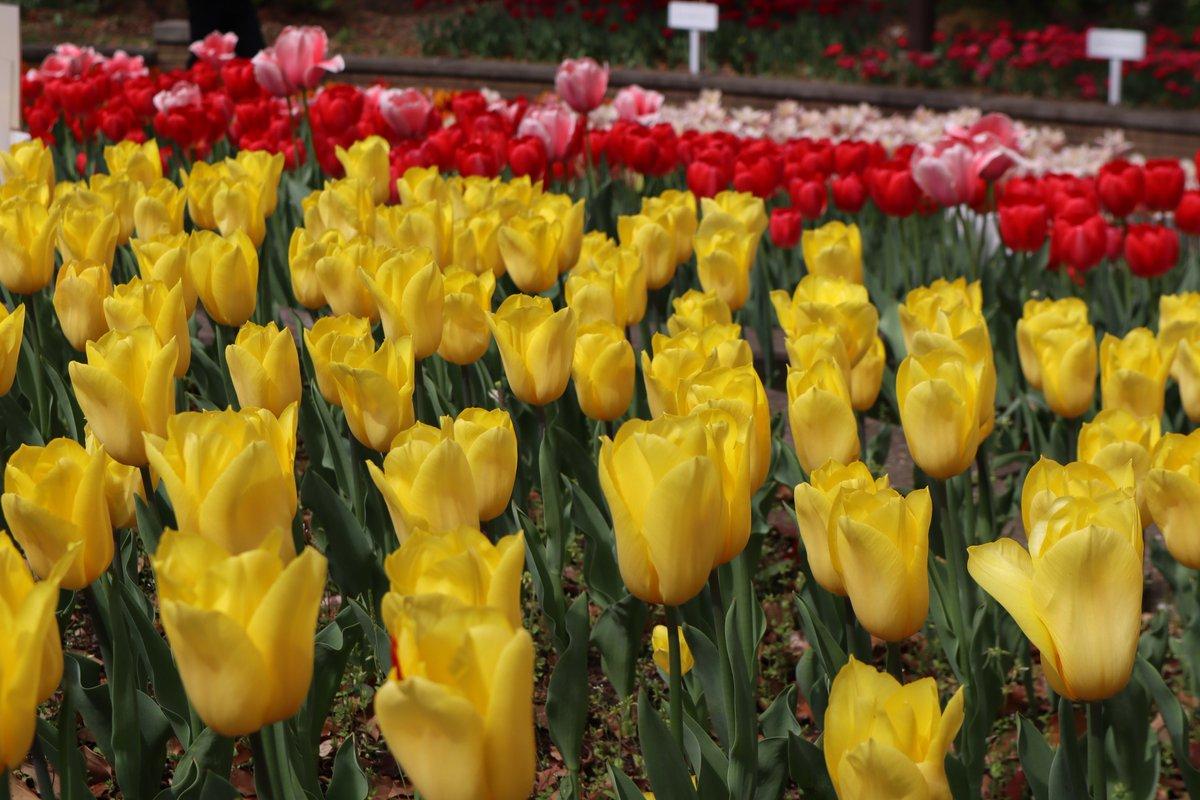 Yokohama Park・tulip-6