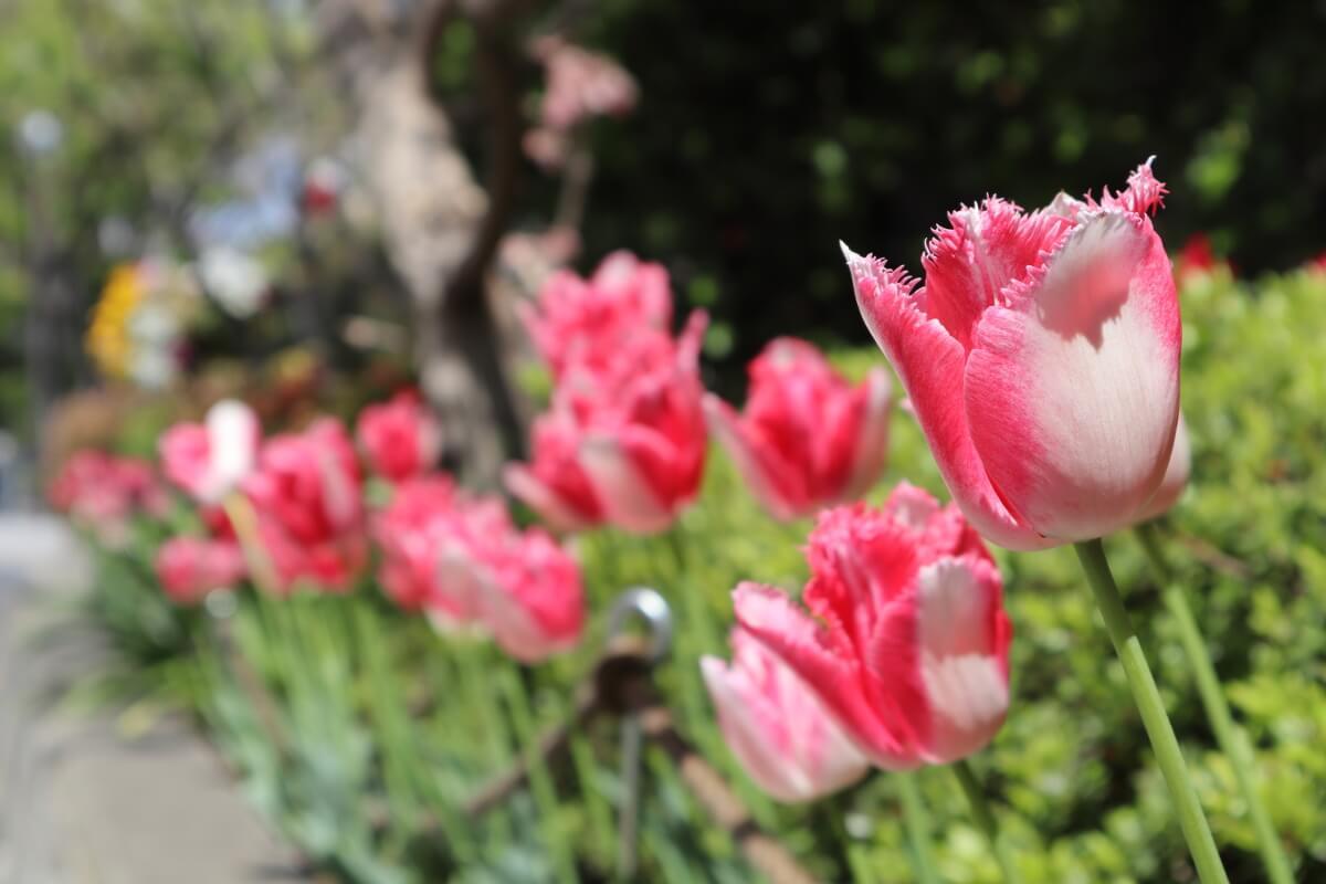 Yokohama Park・tulip20-2