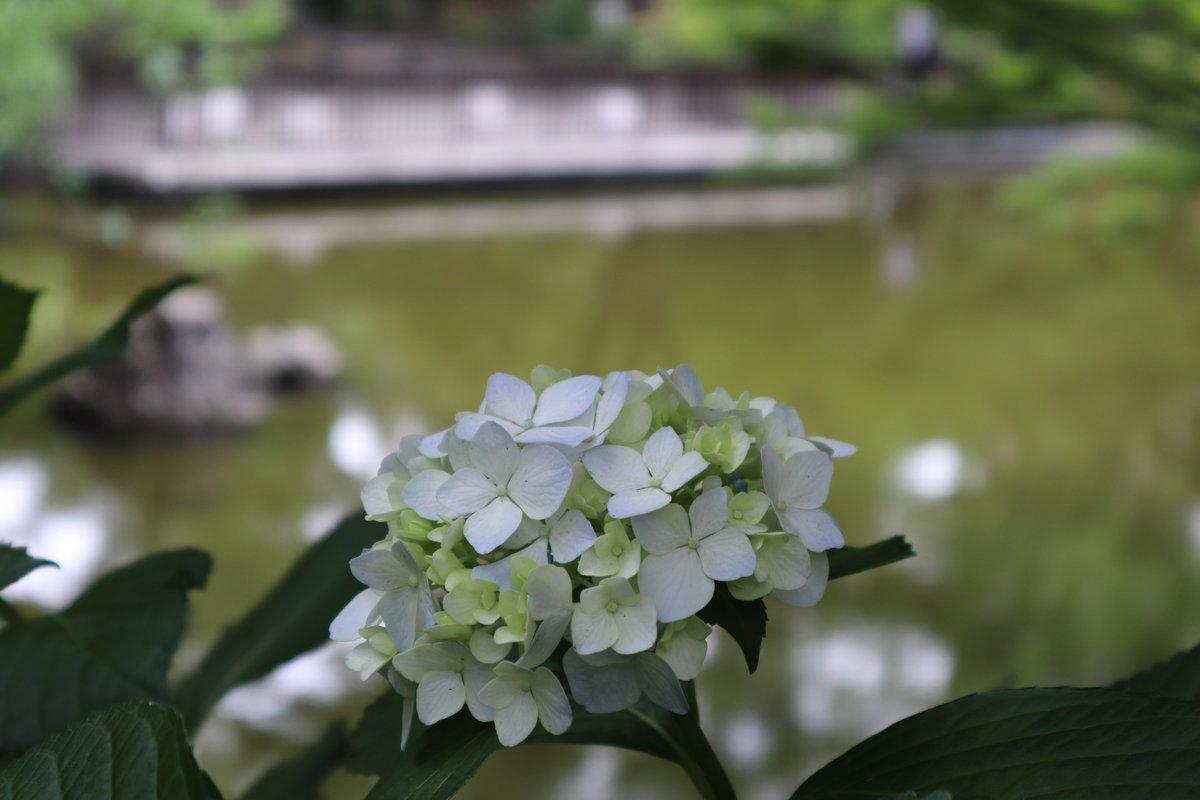 Yokohama Park・Japanese Garden・hydrangea-1