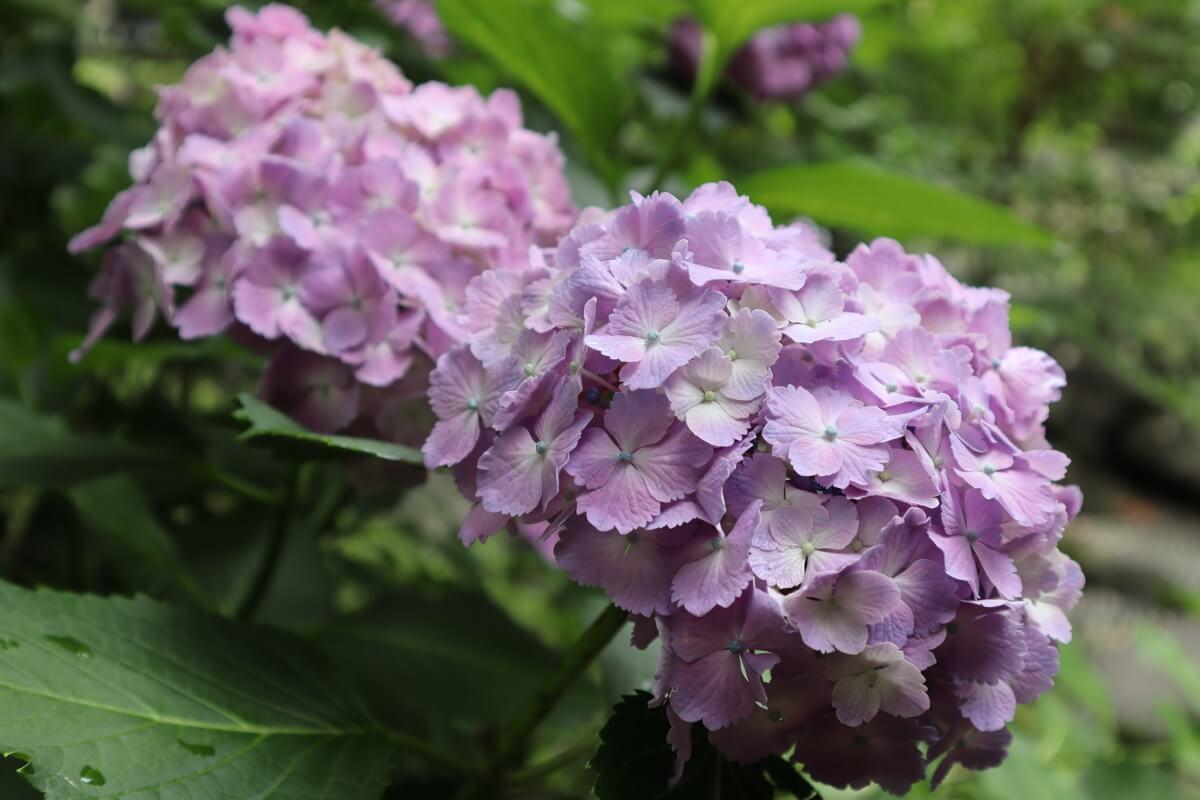 Yokohama Park・Japanese Garden・hydrangea-4